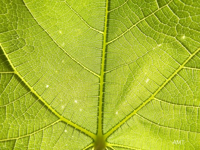 Nervios con formas fractales de una hoja de higuera a contraluz